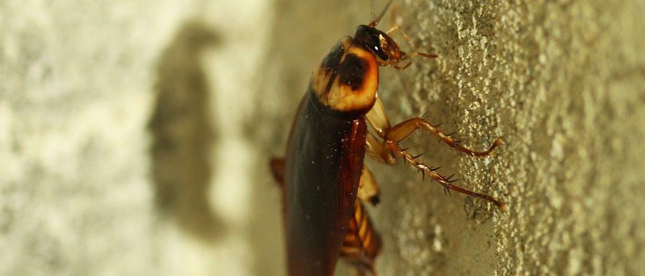 Les cafards : des insectes tant redoutés